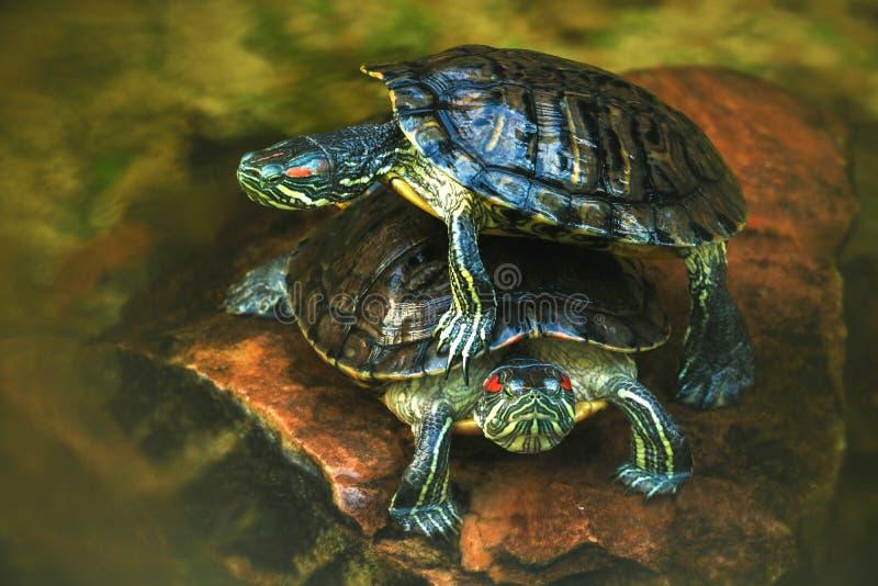 De mooie schildpadden liggen op een steen en een rust op een hete zonnige dag royalty-vrije stock afbeelding