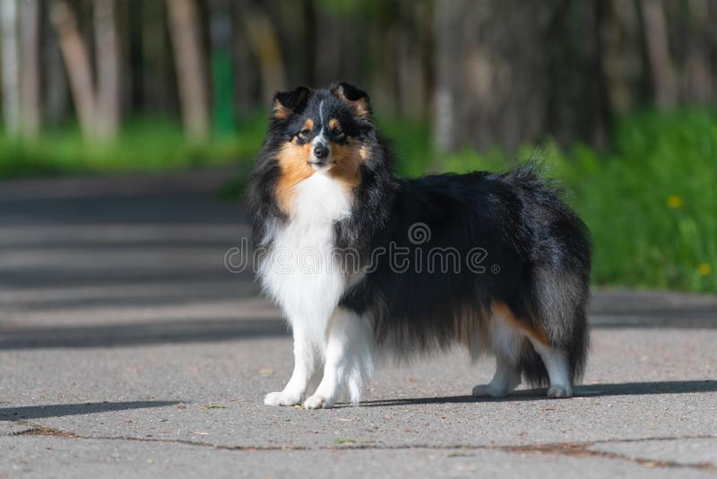 De mooie Schotse Herdershond van Sheltie loopt en voert hond opleidingsstunts in het park uit stock foto's