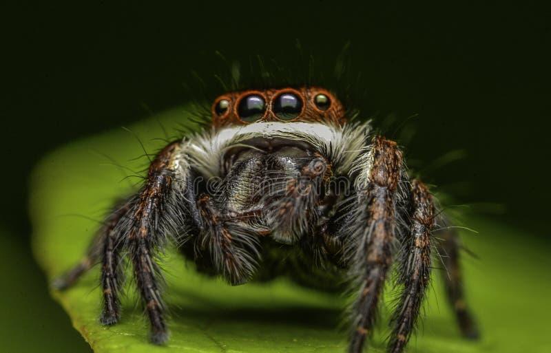 De mooie spin van de insectmoordenaar in Maleisië royalty-vrije stock afbeeldingen