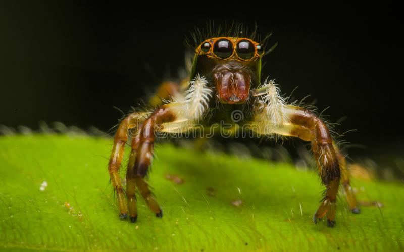 De mooie spin van de insectmoordenaar in Maleisië stock afbeelding