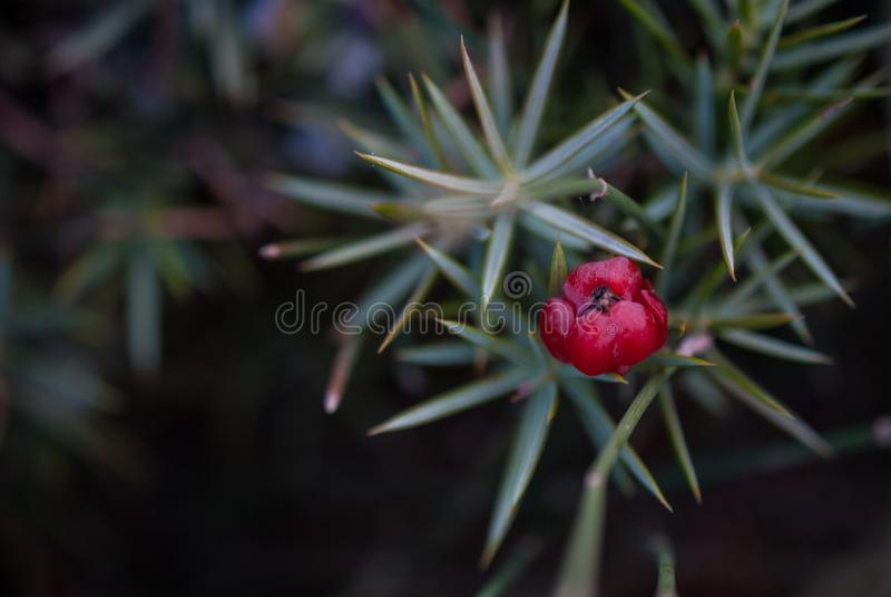 De mooie struikjeneverbes groeit in de herfst, doornige installatie, rode bessen royalty-vrije stock afbeelding