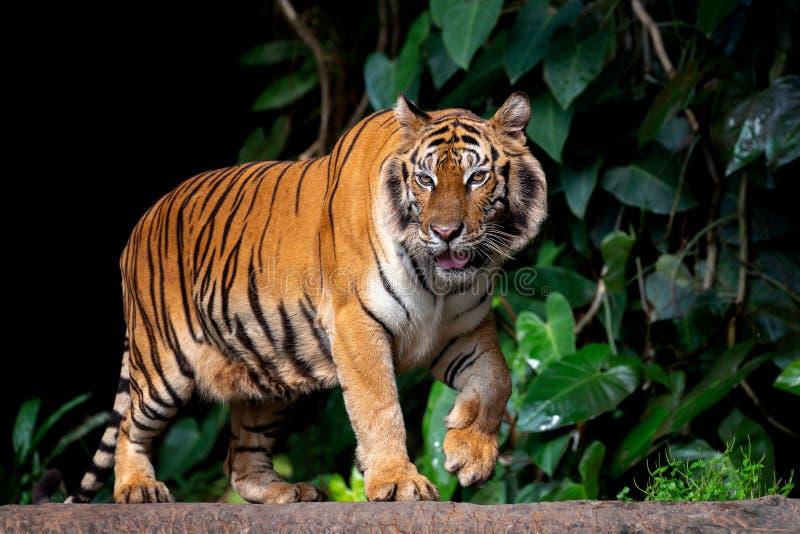 De mooie Sumatran-tijger op snuffelt rond royalty-vrije stock fotografie