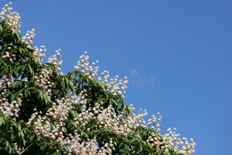 De mooie takken met witte paardekastanje bloeit en groene bladeren tegen de blauwe hemel stock afbeelding