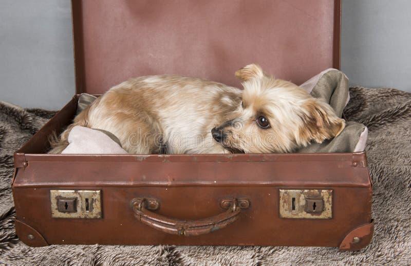 De mooie terriër van Yorkshire in een ouderwetse koffer royalty-vrije stock afbeeldingen