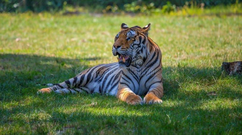 De mooie tijger zit op het gras stock foto's