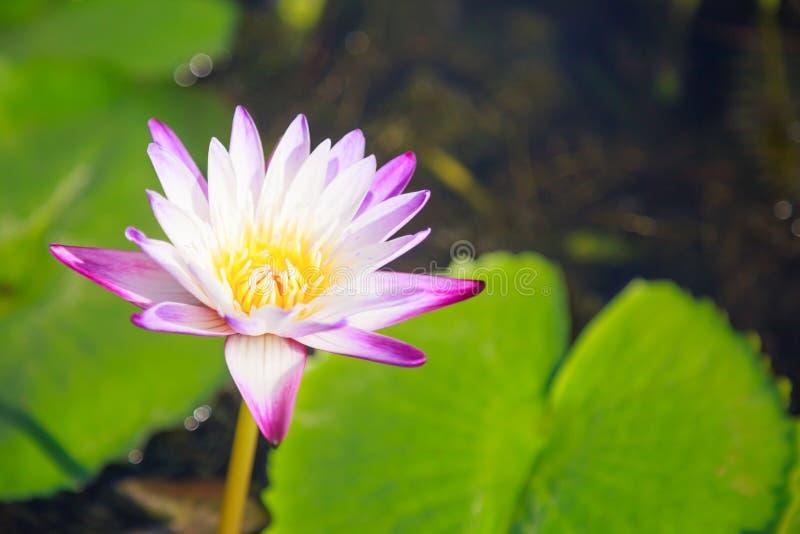 De mooie tot bloei komende aquatische witte en purpere bloem van de waterlelielotusbloem op groene vijverachtergrond Aard, Natuur stock foto's