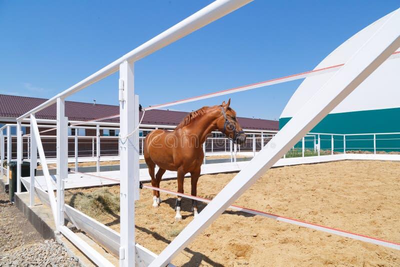 De mooie tribunes van het kastanjepaard in een witte paddock stock fotografie