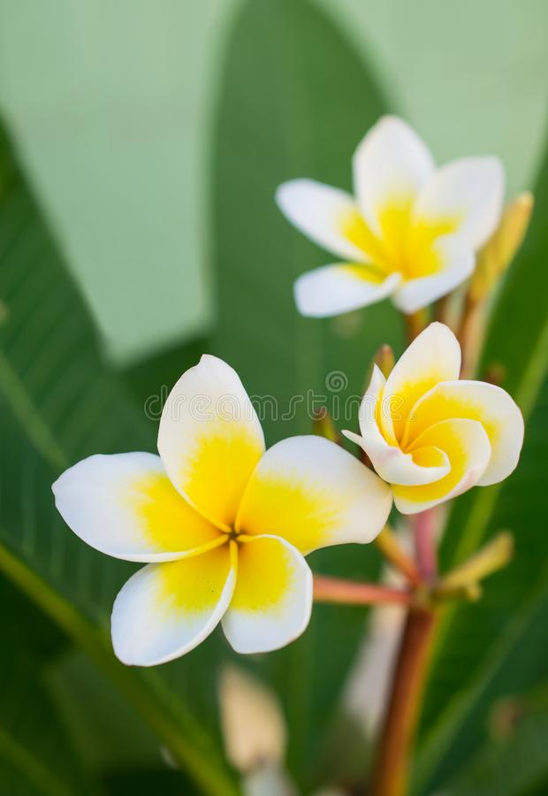De mooie tropische witte en gele bloemen van plumeriafrangipani royalty-vrije stock afbeeldingen