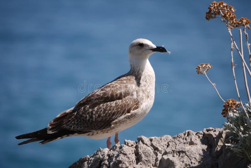 De mooie trotse vogel bevindt zich op een steen dichtbij een struik met bloemen tegen het blauwe overzees stock afbeelding