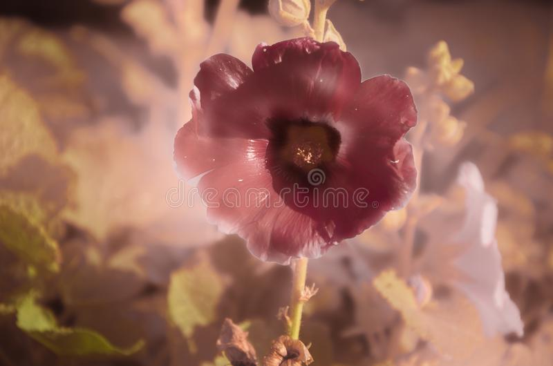 De de mooie tuinen en percelen van de malvebloem royalty-vrije stock afbeeldingen