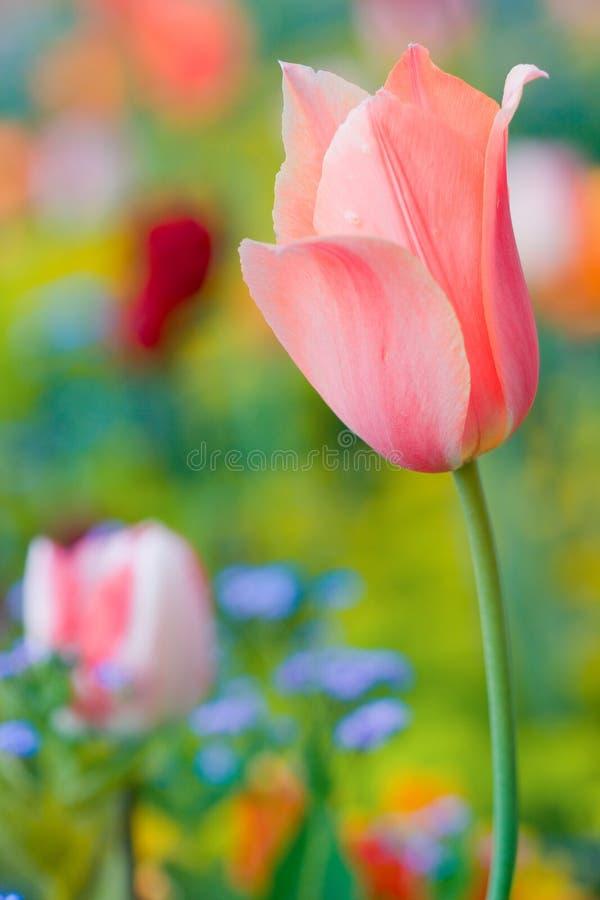 De mooie tulp van het detail stock afbeelding