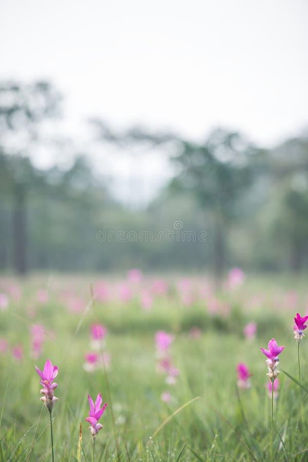 De mooie tulpen van Siam stock afbeelding