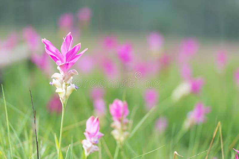 De mooie tulpen van Siam royalty-vrije stock afbeelding