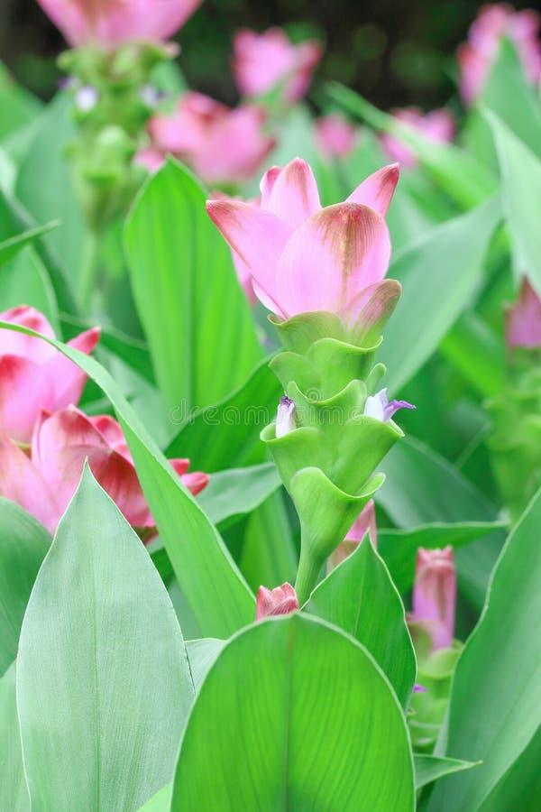 de mooie tulpen van Siam voor patroon en achtergrond stock fotografie