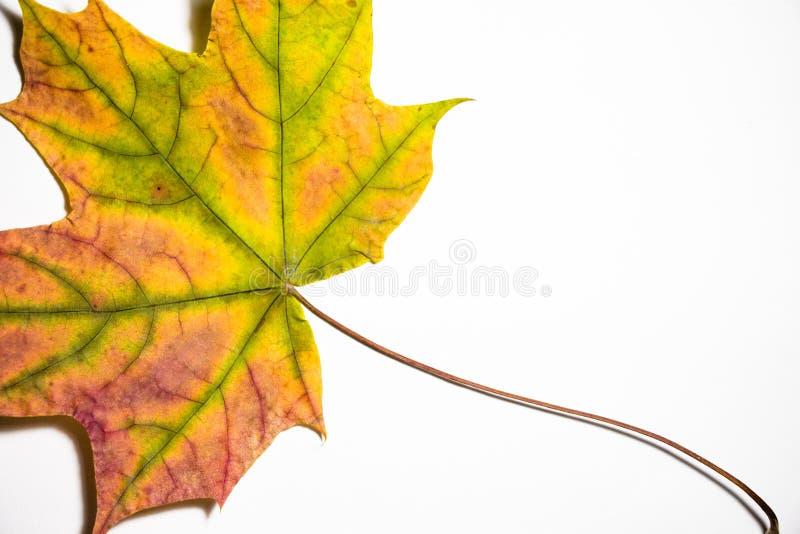 De mooie verschillende schaduwen van esdoornblad ligt op een witte achtergrond Dit blad viel van een mooie de herfstboom stock foto's