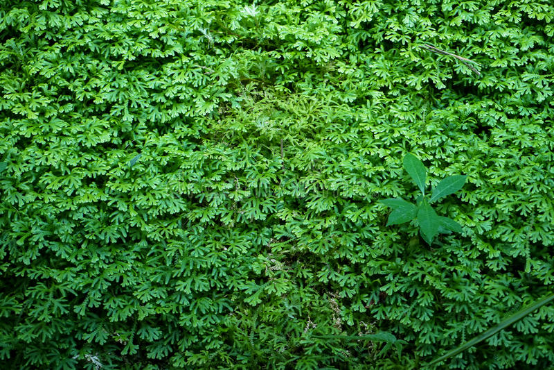 De mooie verse groene varens van de gronddekking, natuurlijke tapijtachtergrond met andere installatie stock afbeeldingen