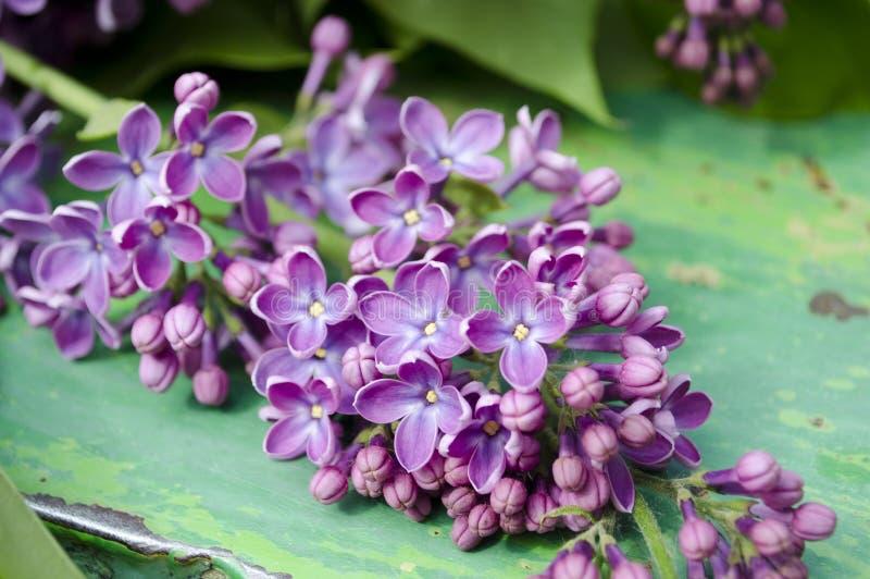 De mooie verse lilac violette bloemen op een houten achtergrond Sluit omhoog van lilac bloesems De lentebloem, takjesering royalty-vrije stock foto's