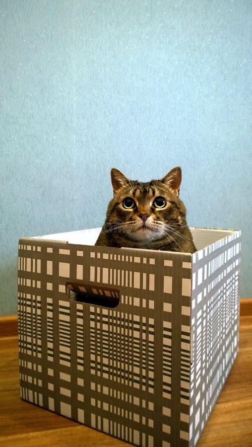 De mooie vette kat zit in een plaiddoos en ziet omhoog eruit Nadenkende dromerig ziet eruit stock fotografie