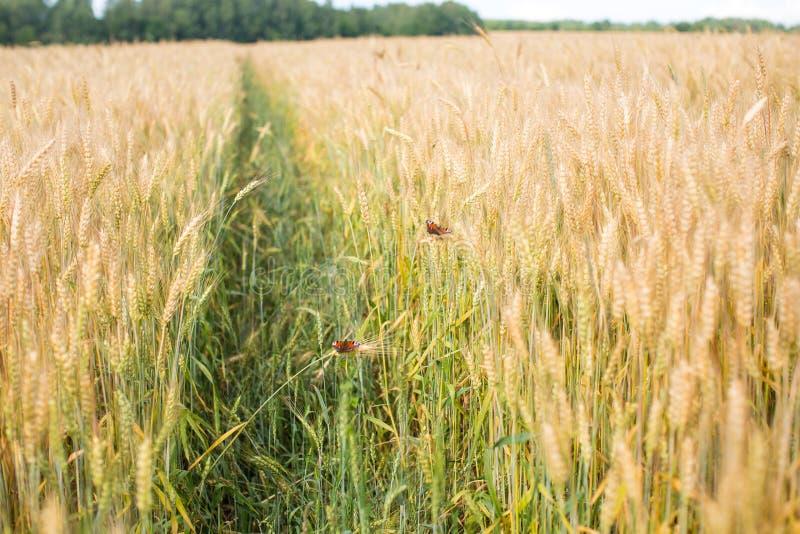 De mooie vlinders zitten op aar van een wheaten gebied stock foto