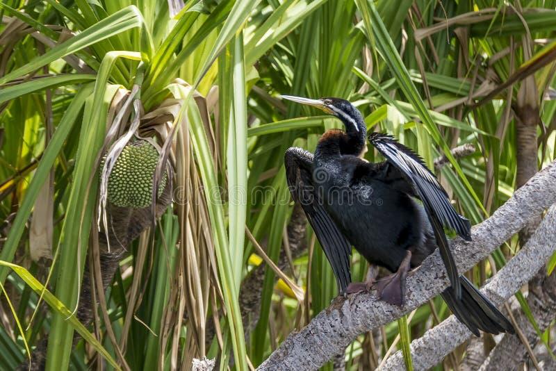 De mooie vogel van Australasian darter en jackfruit plant in Kakadu Nationaal Park, Australië royalty-vrije stock fotografie