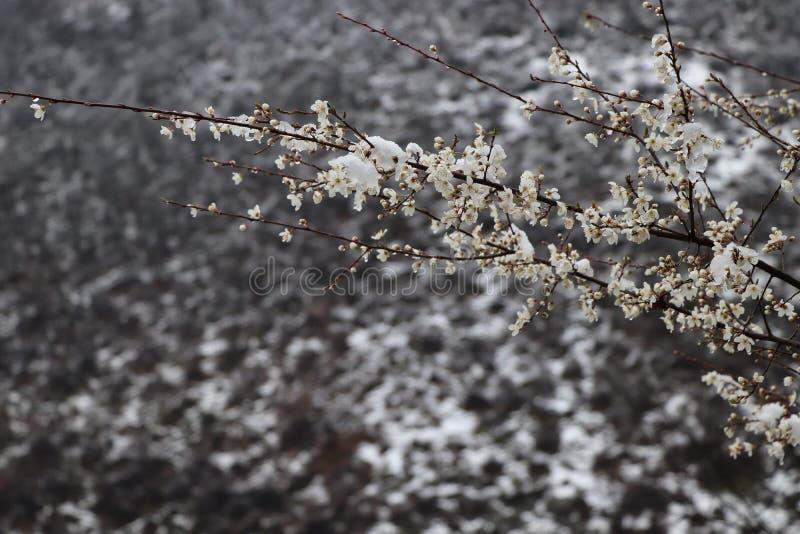 De mooie vogelwinter, boom, aard, sneeuw, tak, vorst, koude, wit, de lente, ijs, hemel, blossomwith kleurrijke veren op de boom royalty-vrije stock afbeeldingen