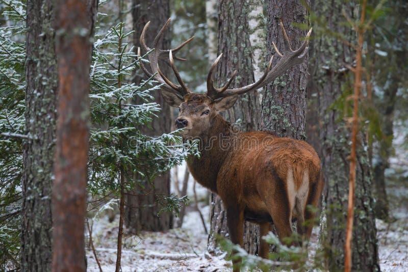 De mooie Volwassen Herten met Grote Hoornen en Zorgvuldig kijken in Struikgewas van de Sneeuw van Forest European Wildlife Landsc royalty-vrije stock fotografie