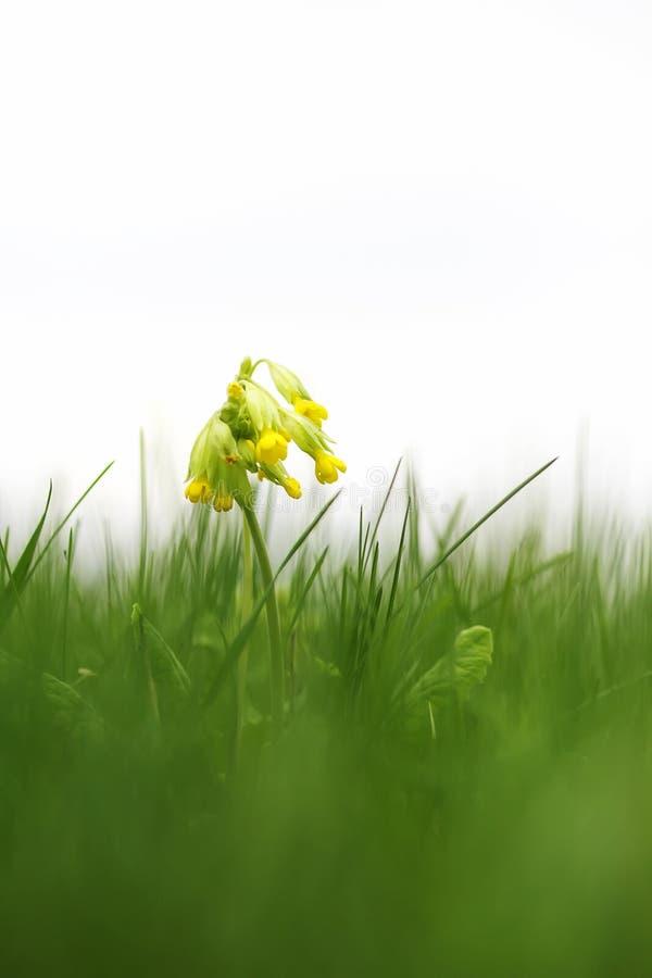 De mooie vroege verse gele bloemensleutelbloem groeit onder groen g royalty-vrije stock foto