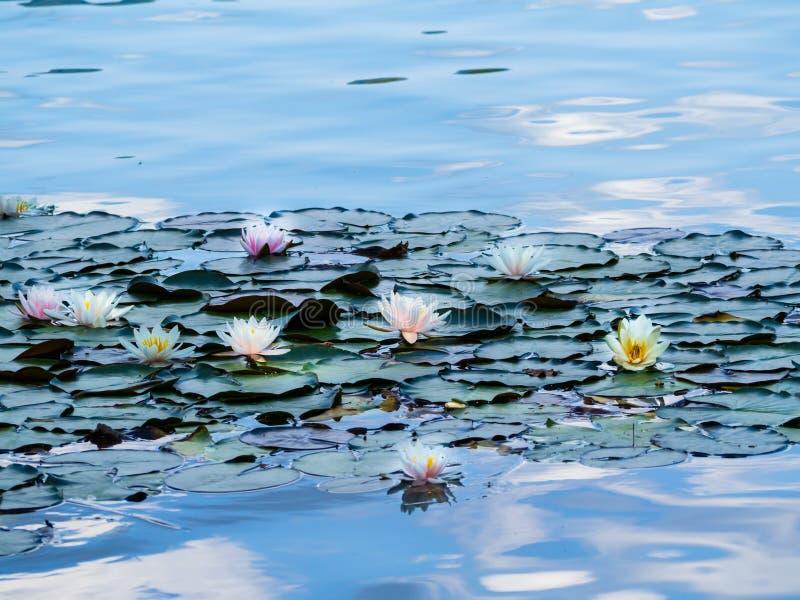 De mooie waterlelie die die op Meer drijven in Slovenië wordt afgetapt bloeide de maand van Augustus royalty-vrije stock fotografie