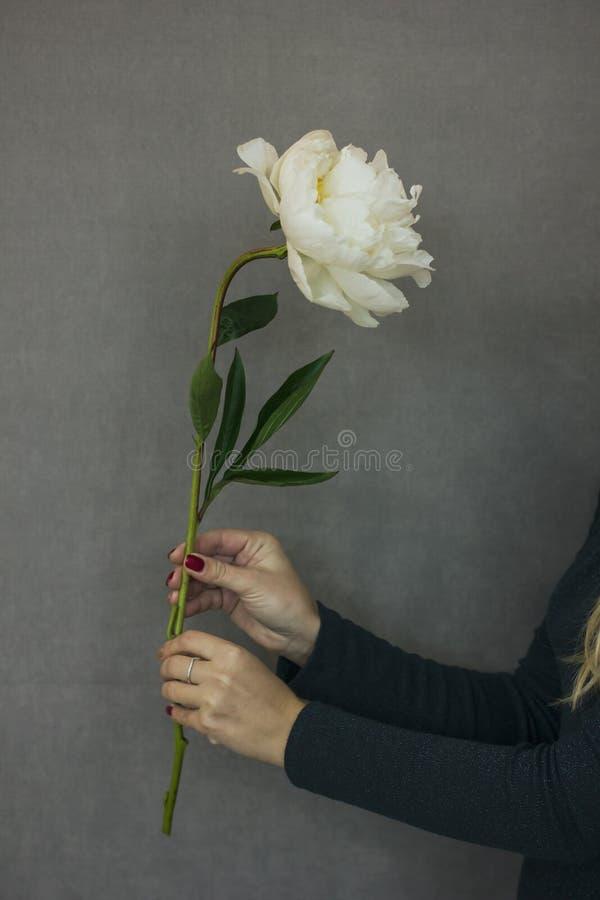 De mooie weelderige witte pioen in een wijfje overhandigt op een grijze backgroun stock foto