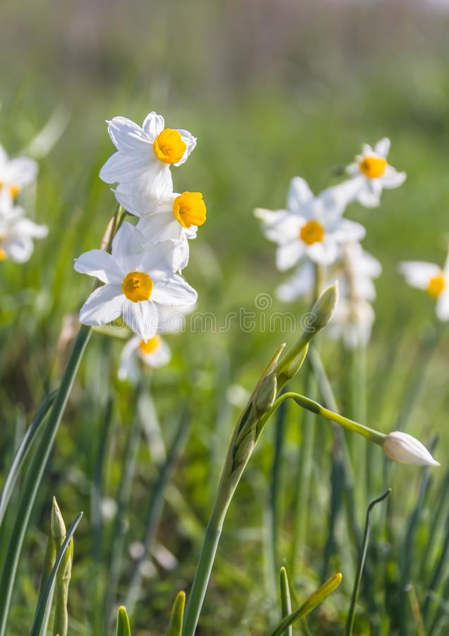 De mooie wilde geurige Narcis bloeit Narcissentazetta, bos-gebloeide narcissen, gele narcis, Chinese heilige lelie geheel royalty-vrije stock foto