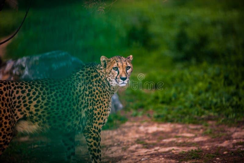 De mooie Wilde Jachtluipaard, sluit omhoog royalty-vrije stock foto