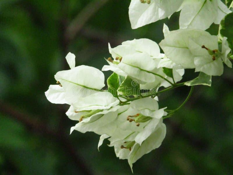 De mooie witte bougenvile bloemen met een vage achtergrond royalty-vrije stock afbeelding