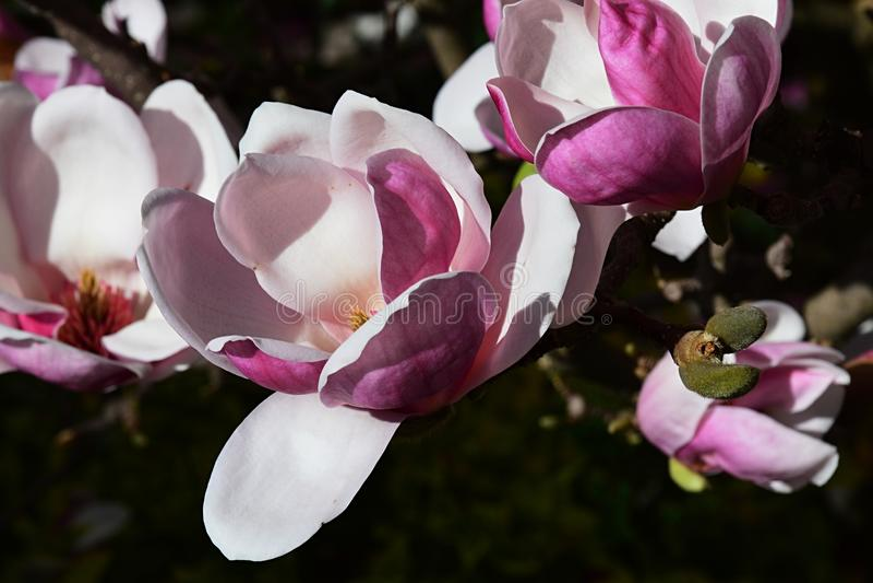 De mooie witte en roze bloemen van Magnoliasoulangeana in volledige bloei tijdens lentetijd royalty-vrije stock afbeeldingen