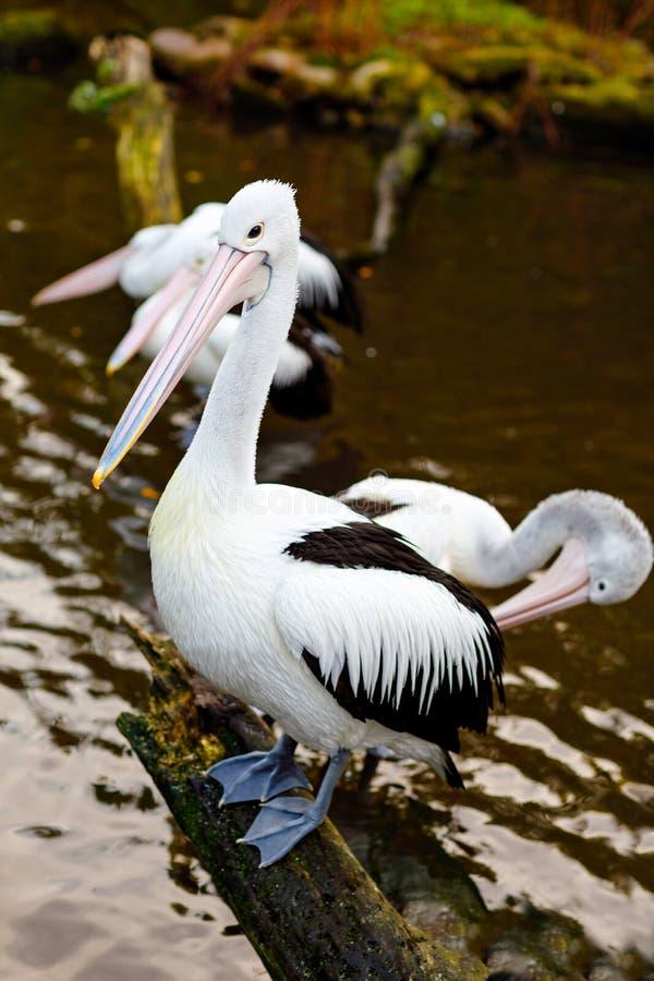 De mooie witte, grijze pelikanen in vogeldierentuin parkeren in Walsrode, Duitsland Interessant park voor families, kinderen en s stock afbeelding