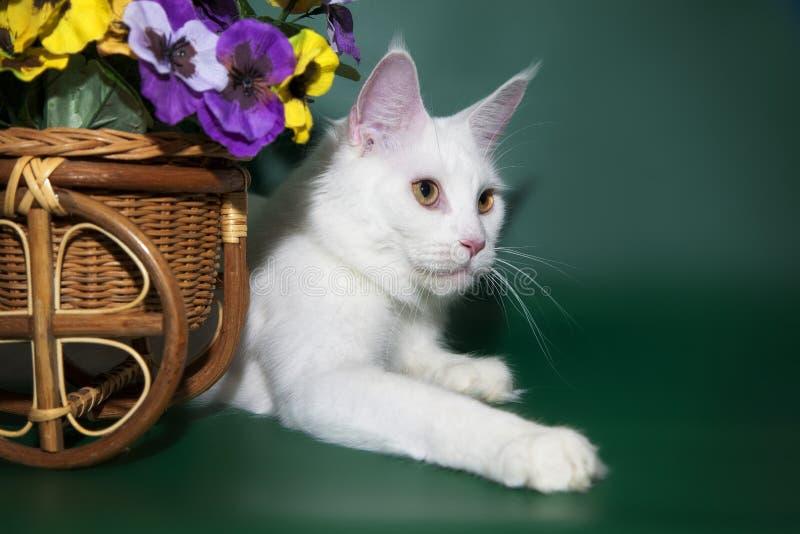 De mooie witte kat Maine Coon ligt dichtbij de mand met bloemen stock foto