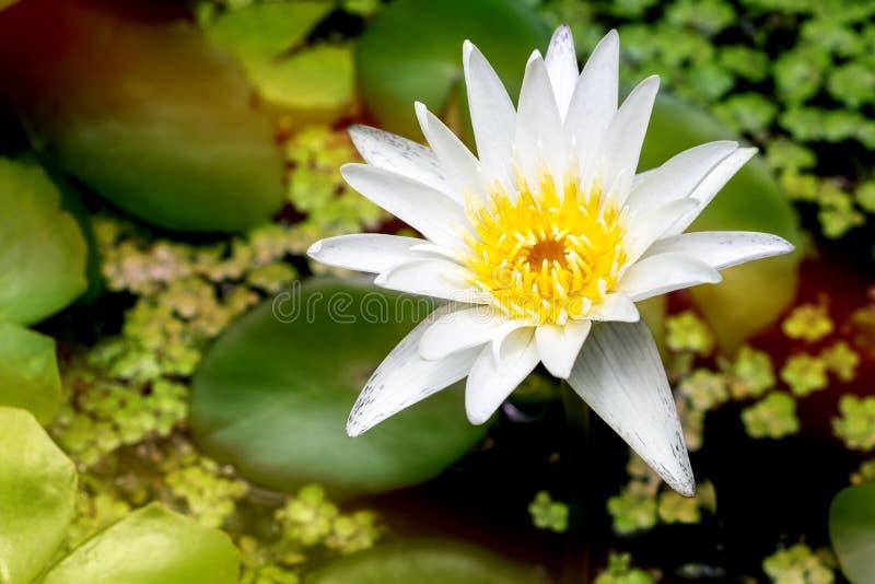 De mooie witte lotusbloembloem met groen blad in vijver is complime stock afbeeldingen