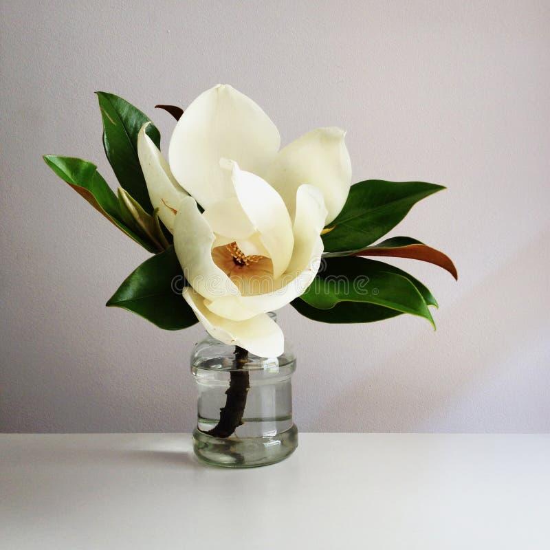 De mooie witte magnoliabloem in volledige bloei in vaas, sluit omhoog, witte achtergrond Bloemen stilleven stock afbeelding