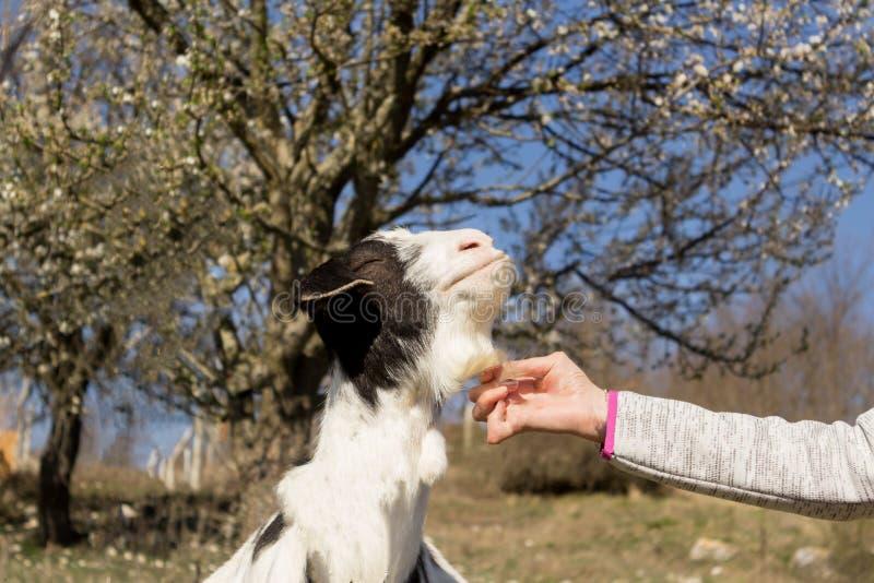 De mooie zwangere geit voelt goed geknuffeld door een mens op het groene gebied van de de lenteweide bij dorpsplatteland stock fotografie