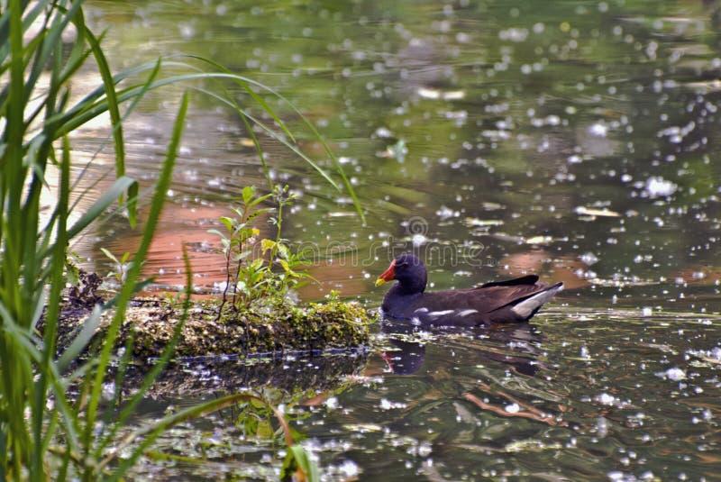 De mooie zwarte kip van het vogelwater in een moerassige vijver royalty-vrije stock foto's