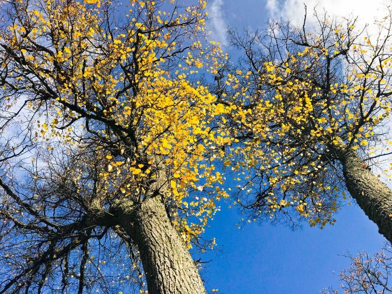 De mooie zwarte lange bomen met de gele herfst verlaat het vallen tegen een blauwe hemel en witte wolken De achtergrond stock foto