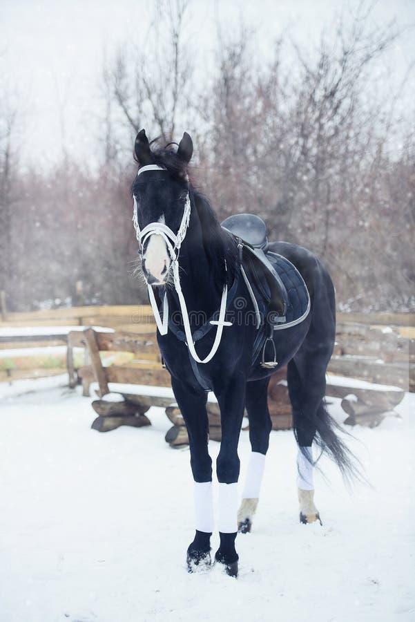 De mooie zwarte paardwinter royalty-vrije stock afbeelding