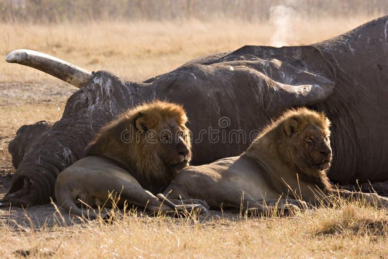 De moordenaars van de olifant van Savute stock foto