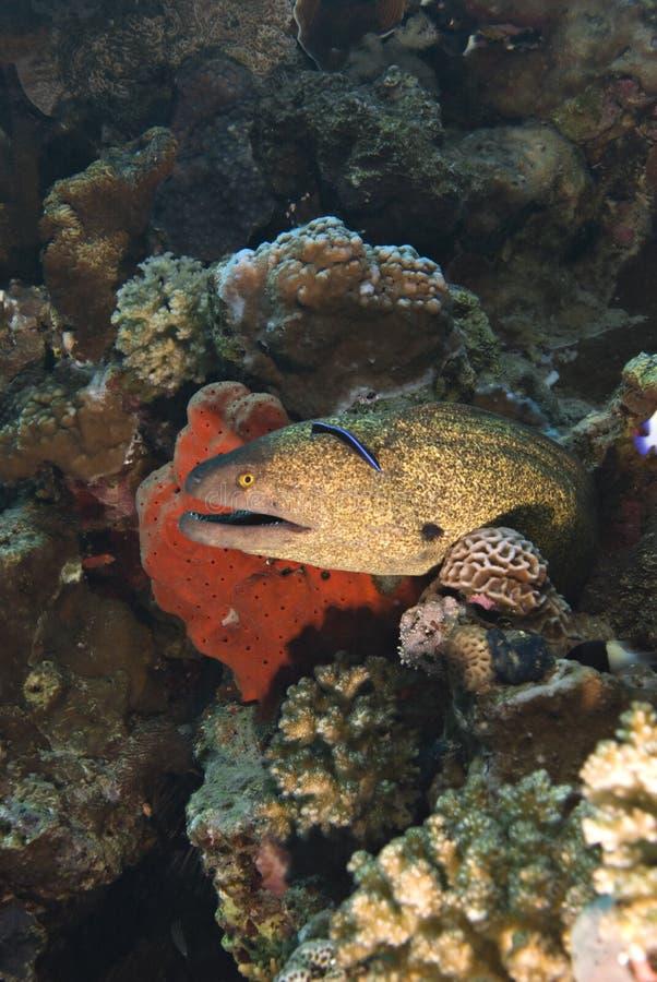 De moray paling van Yellowmargin. royalty-vrije stock foto