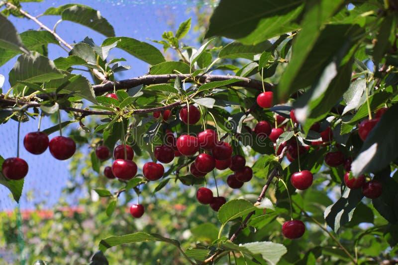 De morel of zuur riped kersen op de stok van de kersenboom met bladeren, op tijd van oogst in de zomer in de boomgaard stock afbeeldingen