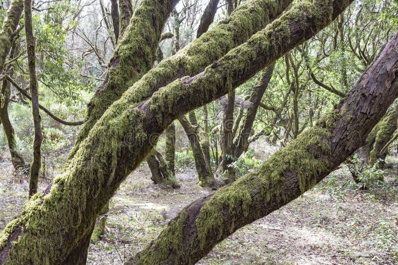 De mossiga träden i naturreserven Laguna som är stor på ön av La Gomera nära Tenerife, Spanien royaltyfria foton