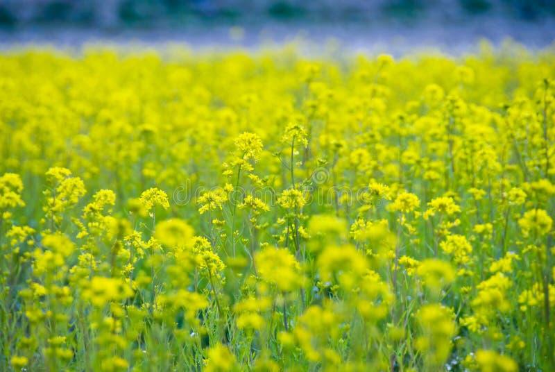 De mosterdlandbouwbedrijf van het gebied royalty-vrije stock afbeelding
