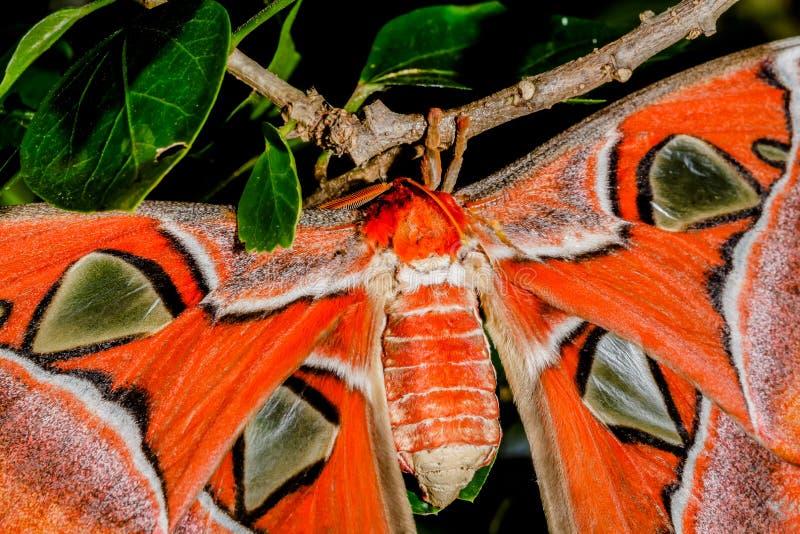 De Mot van de Attacusatlas de reuzevlinder stock foto