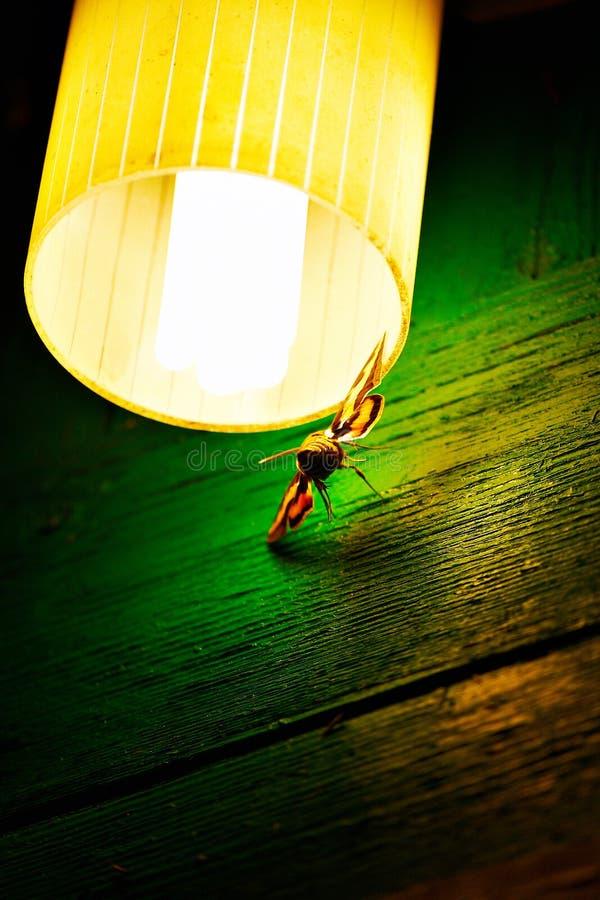 De mot van de nacht onder de lamp royalty-vrije stock foto's