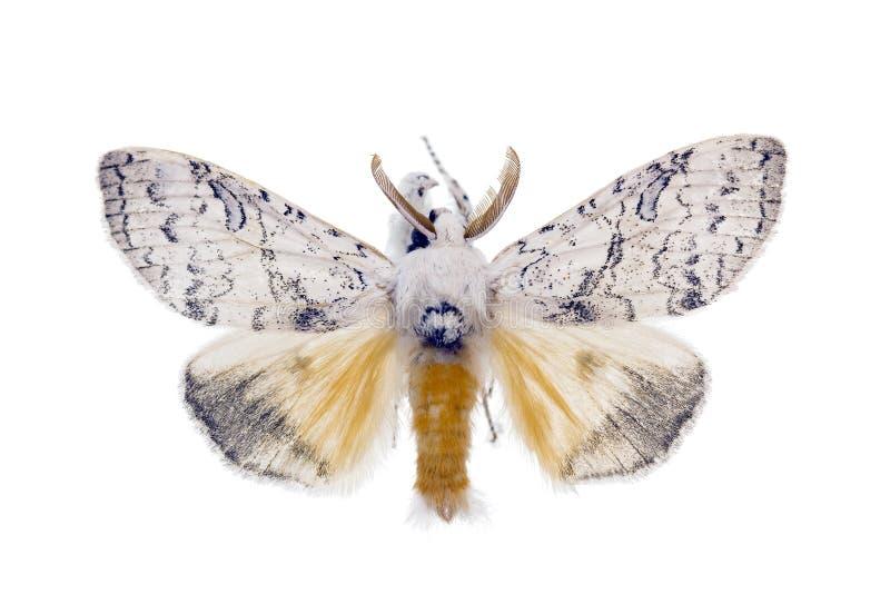 De Mot van de zigeuner, antennata Lymantria royalty-vrije stock afbeeldingen