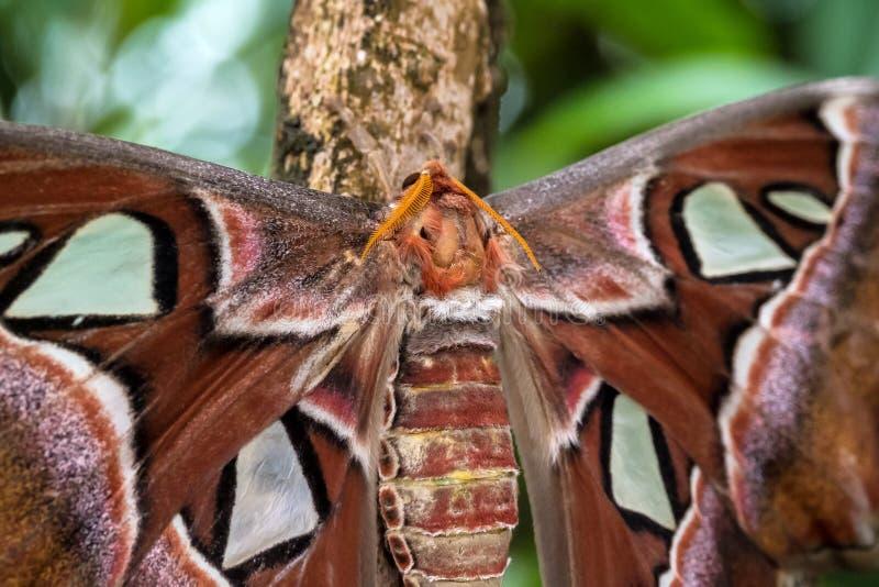 De motten van de Attacusatlas zijn één van grootste lepidopterans in de wereld stock foto's